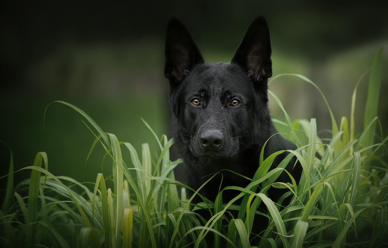 Photo wallpaper grass, look, face, dog, German shepherd
