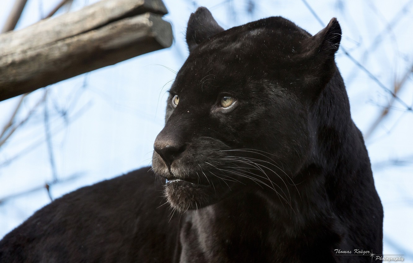 Wallpaper Face Predator Panther Wild Cat Black Jaguar Images For Desktop Section Koshki Download