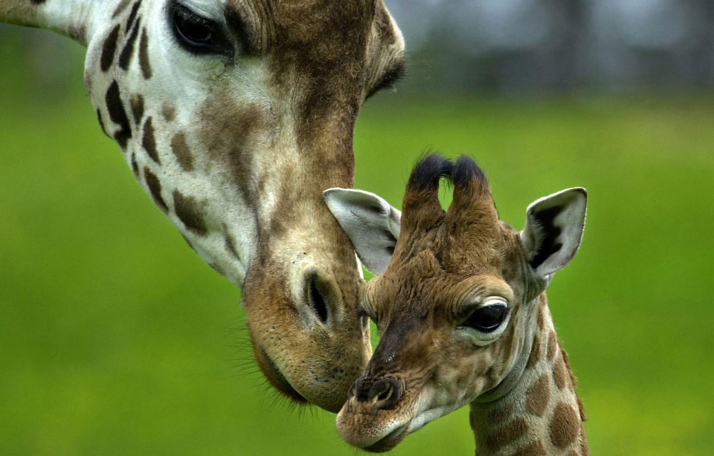 Photo wallpaper love, tenderness, baby, giraffe, care, mom
