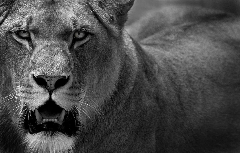 Photo wallpaper cat, predator, Leo, lioness, cat, lion, 1920x1200, predator, lioness
