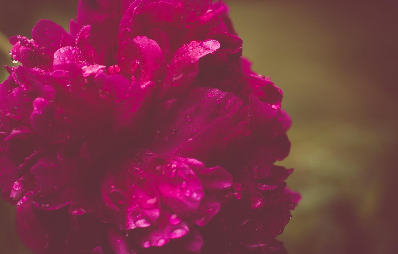 Photo wallpaper flower, drops, peony