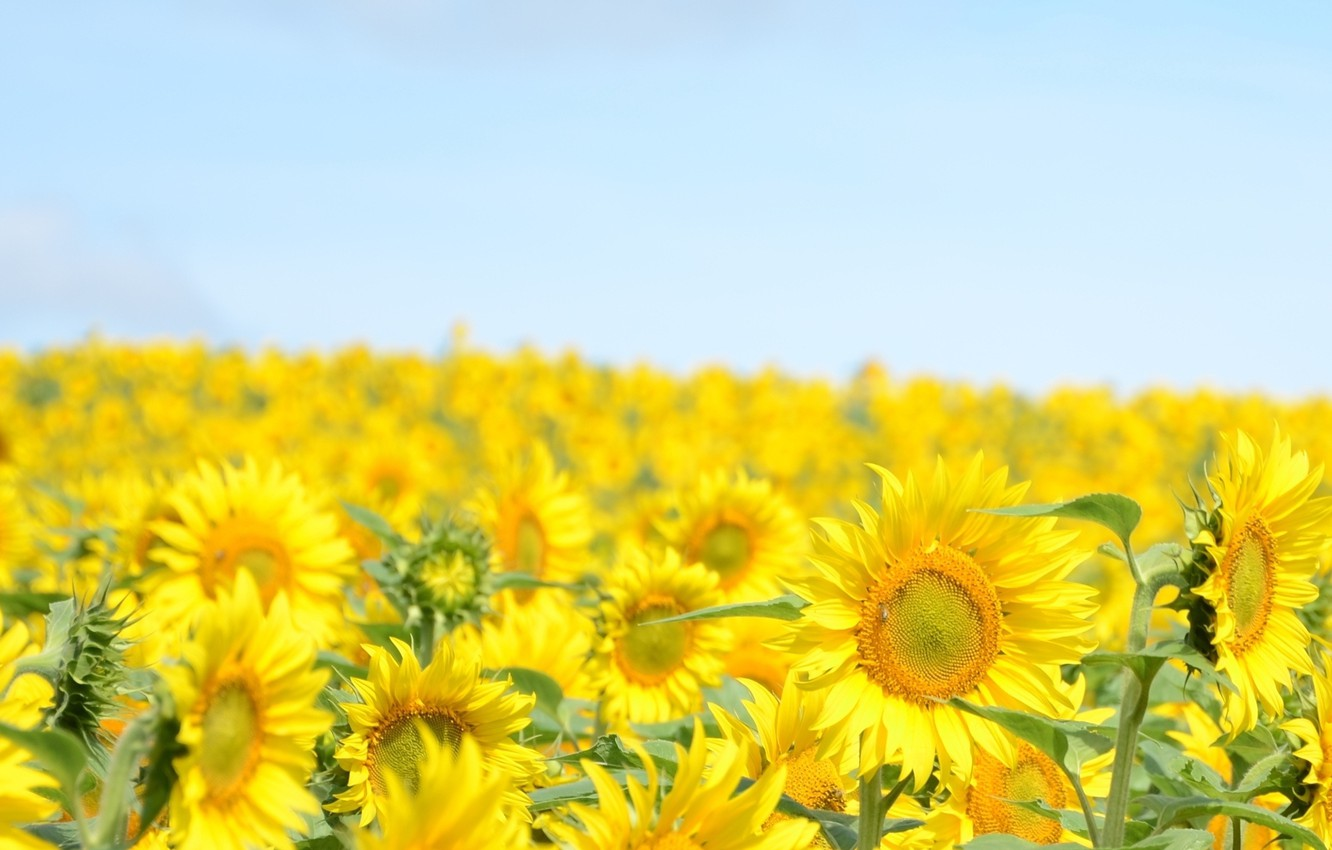 Photo wallpaper the sky, sunflowers, landscape, flowers, yellow, nature, background, widescreen, Wallpaper, blue, plant, sunflower, wallpaper, flowers, …