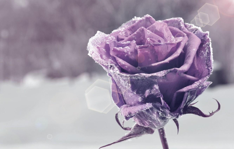 Wallpaper flower, purple, snow, flowers, background