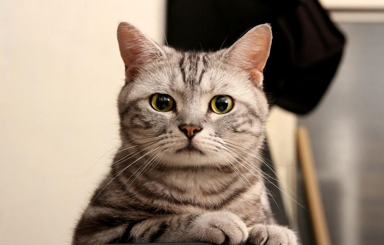 Photo wallpaper cat, eyes, cat, look, grey, green, striped, looks