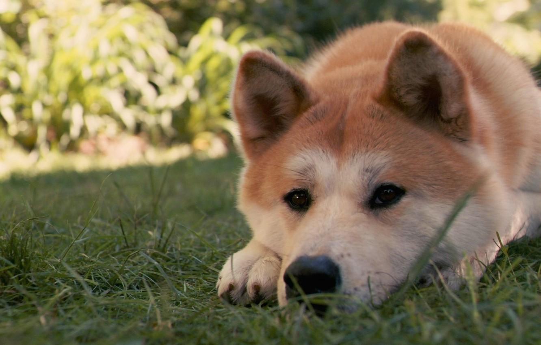 Photo wallpaper grass, dog, Hah