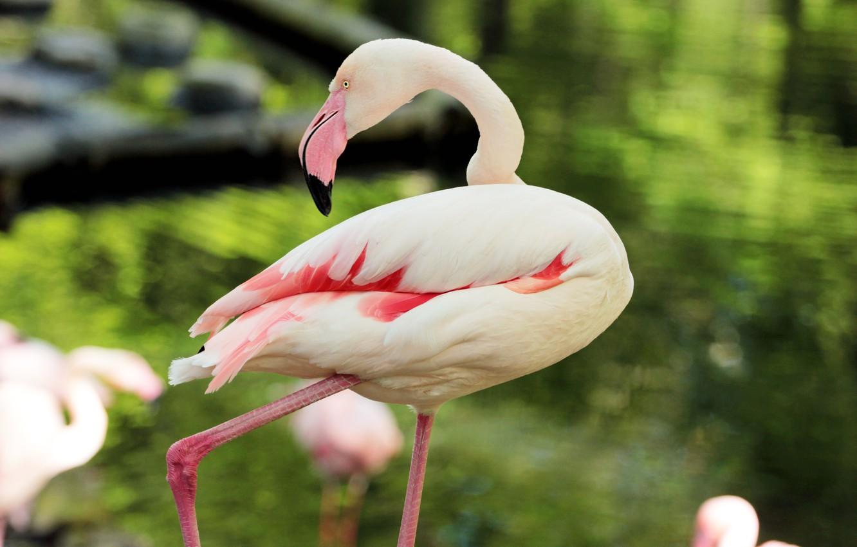 Photo wallpaper pink, feathers, Flamingo