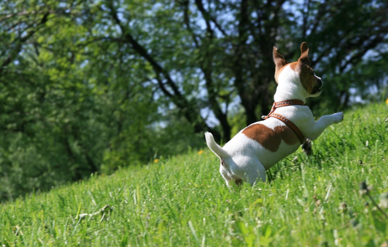 Photo wallpaper grass, mood, dog, walk, runs, Jack Russell Terrier, happy