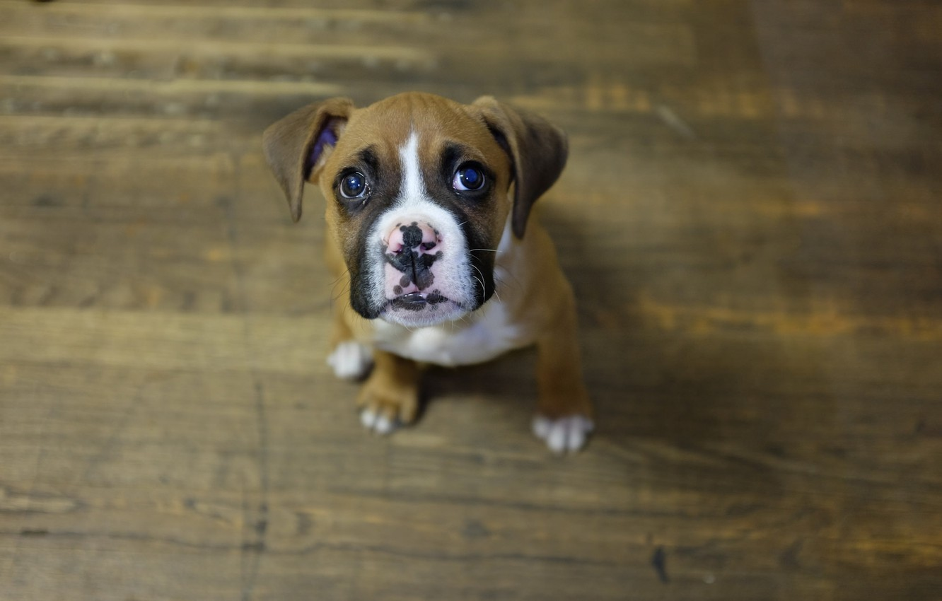 Photo wallpaper look, dog, puppy, boxer