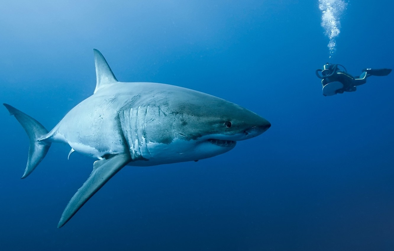 Photo wallpaper diver, shark, Oceans