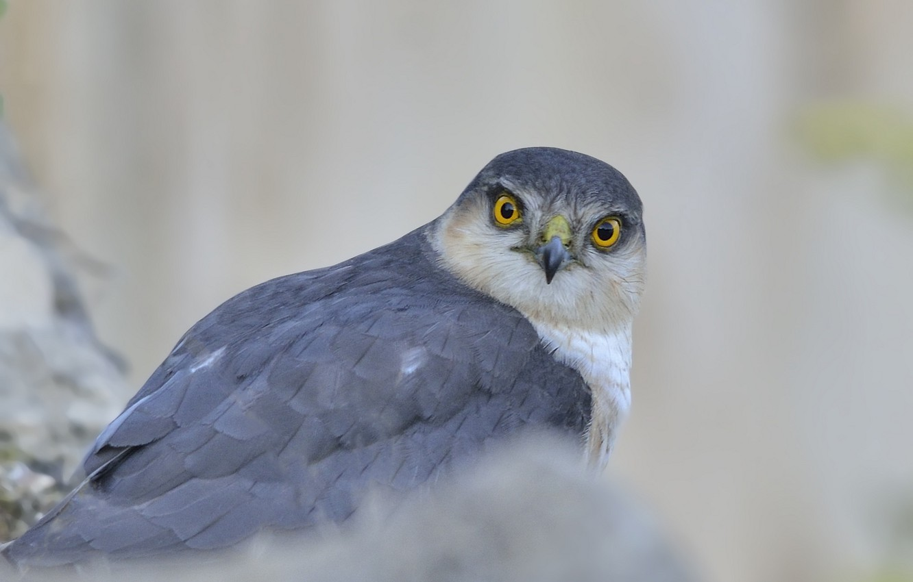 Photo wallpaper look, grey, background, bird, predator, hawk, Sparrowhawk