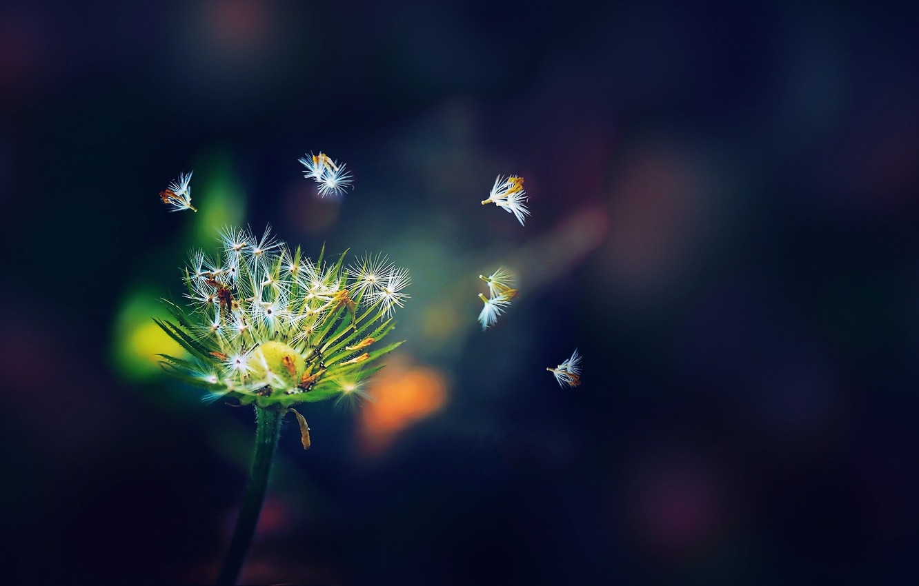 Photo wallpaper white, flower, color, green, background, dandelion, seeds, dark blue
