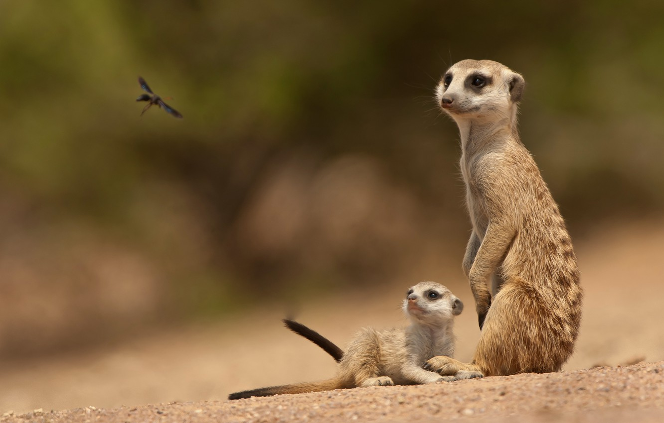 Photo wallpaper baby, insect, family, Meerkats