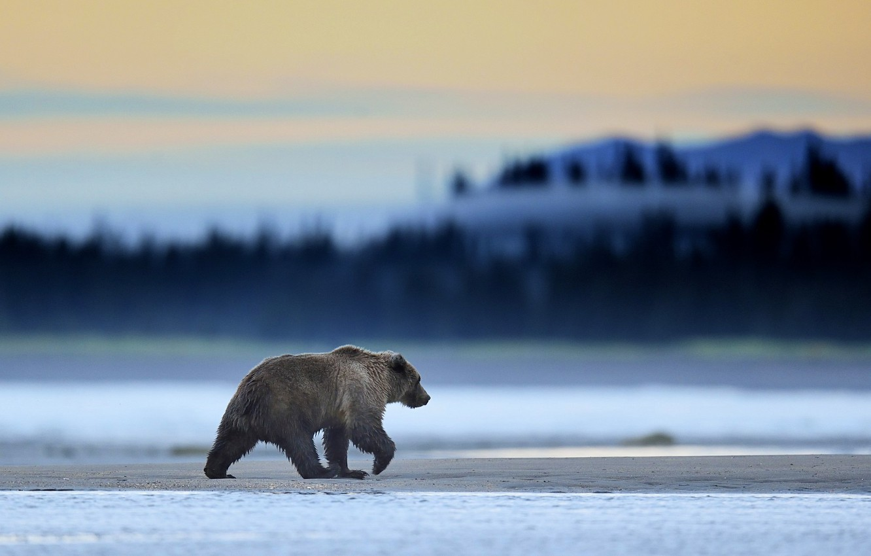 Photo wallpaper Alaska, Predator, Sunrise, Wild, Lake, Bear, Clark, Mammal, Grizzly, Mmorning, Wildlife
