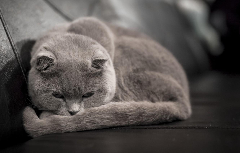 Photo wallpaper cat, grey, lies, looks