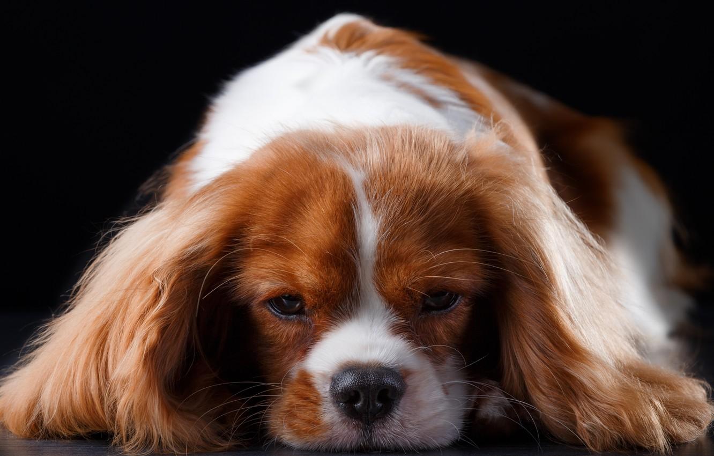 Photo wallpaper muzzle, breed, Spaniel