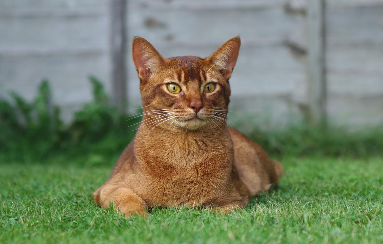 Photo wallpaper grass, cat, look, red, lies