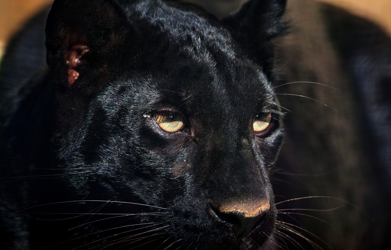 Photo wallpaper look, face, predator, Panther