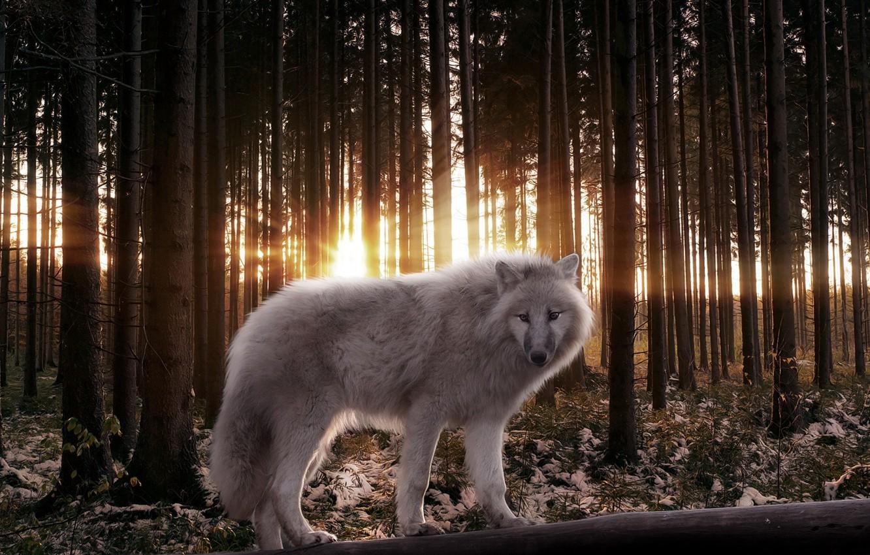 Photo wallpaper FOREST, LIGHT, TREES, PREDATOR, RAYS, WOLF