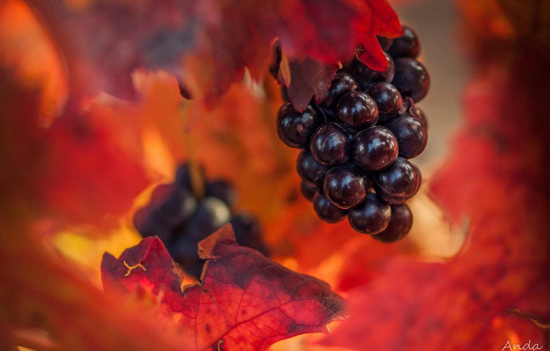 Photo wallpaper autumn, leaves, grapes, bunch, bokeh