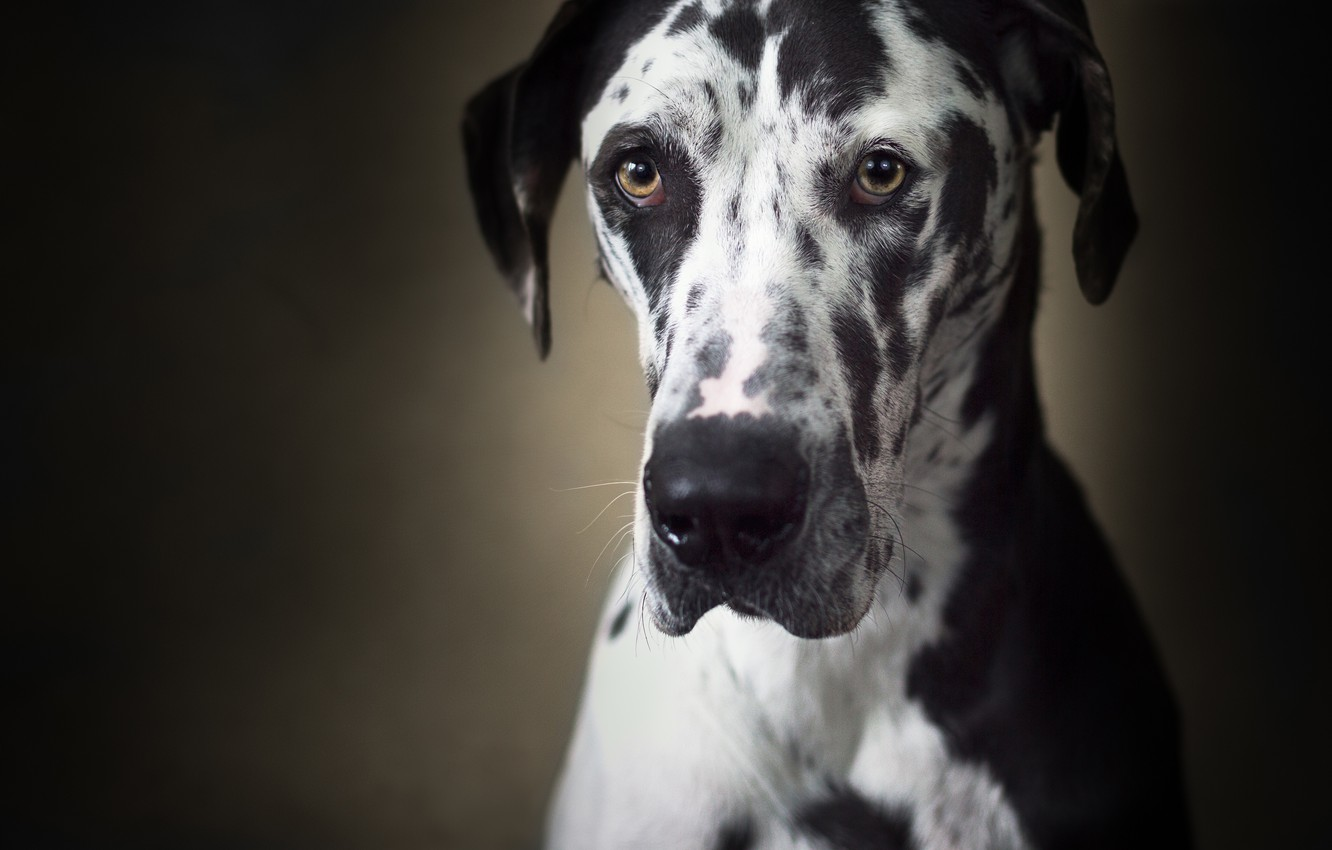 Photo wallpaper look, face, background, dog, Great Dane