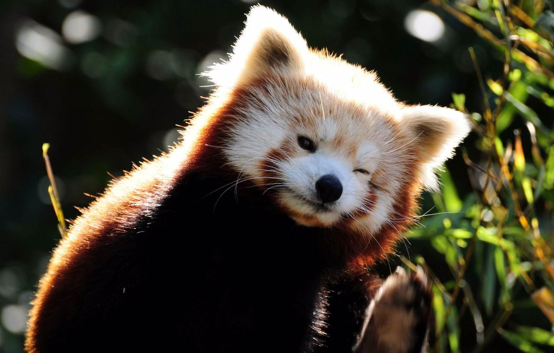 Photo wallpaper grass, muzzle, firefox, red Panda
