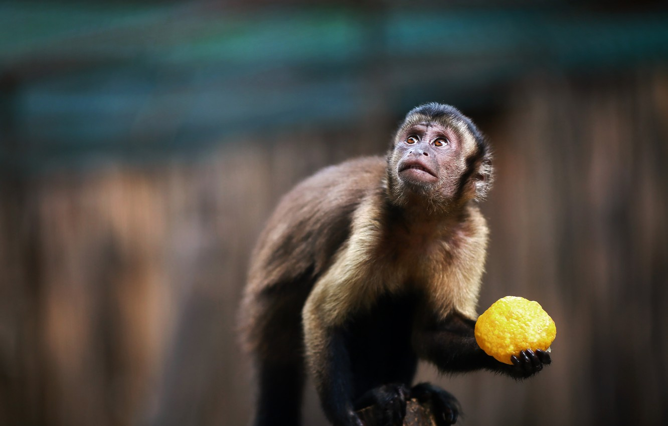 Photo wallpaper animal, monkey, fruit, Capuchin
