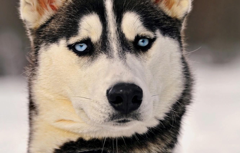 Photo wallpaper eyes, look, husky