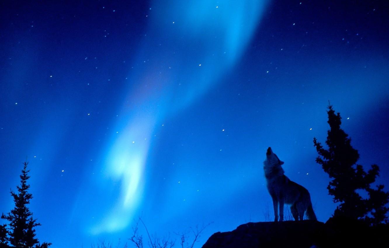 Photo wallpaper forest, lights, wolf, Night
