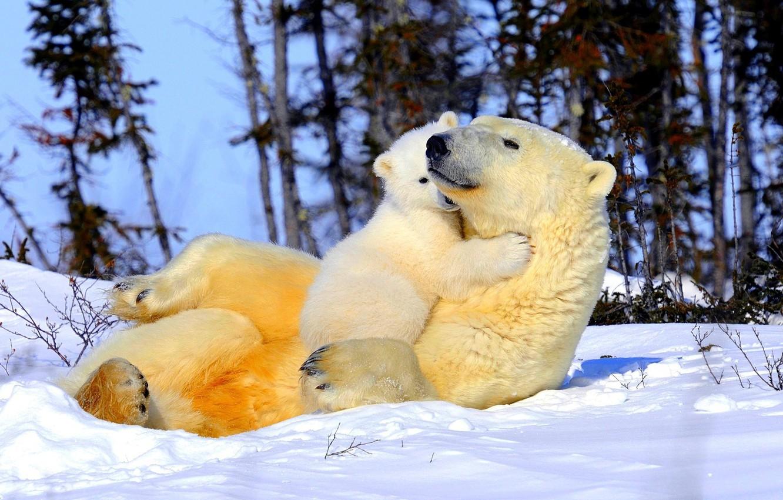 Photo wallpaper snow, trees, tenderness, bear, weasel, mom, polar bears