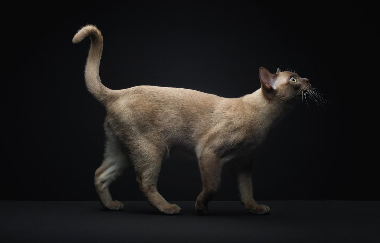 Wallpaper Cat Tail Siamese Images For Desktop Section Koshki