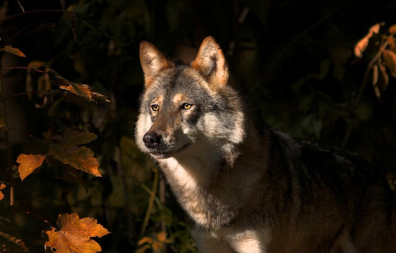 Photo wallpaper autumn, leaves, nature, animal, wolf, predator, maple