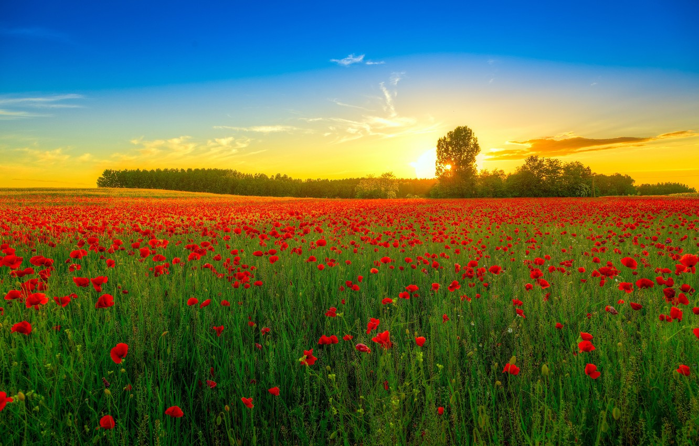 Photo wallpaper field, trees, landscape, sunset, flowers, nature, Maki