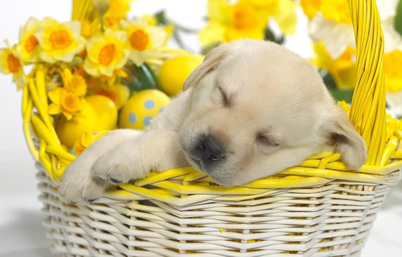 Photo wallpaper basket, Easter, puppy