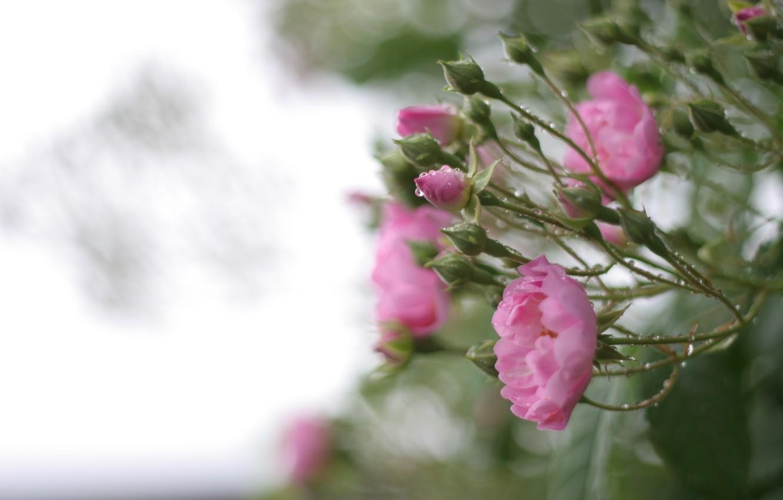 Photo wallpaper greens, leaves, water, drops, macro, flowers, nature, rain, Bush, roses, petals, blur, pink