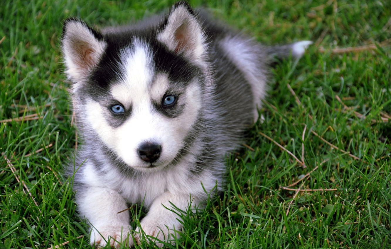Photo wallpaper greens, grass, eyes, muzzle, puppy, color, husky, baby. breed