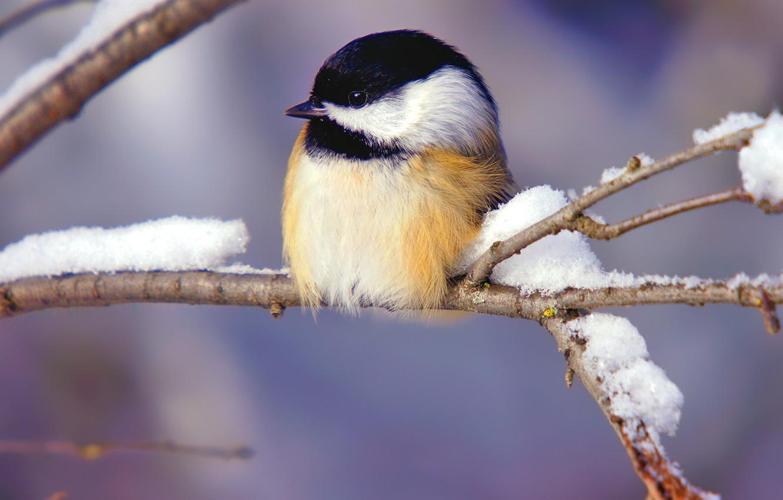 Photo wallpaper winter, snow, branch, bird, titmouse