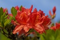 Picture the sky, leaves, nature, petals, rhododendron