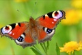 Picture wallpapers, nature, butterfly, insects, fly, Wallpaper, animal