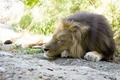 Picture cat, mane, stay, sleeping, Leo, sleep