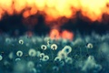 Picture background, nature, plants, Wallpaper, glade, the evening, grass, dandelions, summer