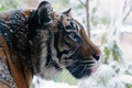 Picture winter, face, tiger, predator, profile, wild cat