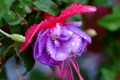 Picture purple, flower, purple, Flower, drops, drops, Fuchsia