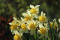 Picture bokeh, macro, greens, daffodils