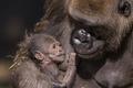 Picture nature, background, gorilla