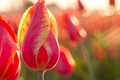 Picture macro, nature, petals, stem, tulips