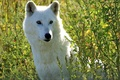 Picture in the grass, wolf, sitting, white