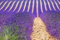 Picture field, France, lavender, Provence