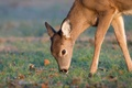 Picture deer, wildlife, eating, little deer, grass, feed
