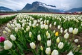 Picture field, clouds, landscape, flowers, mountains, Rosa, tulips, white