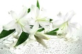 Picture leaves, flowers, white lilies, water, droplets